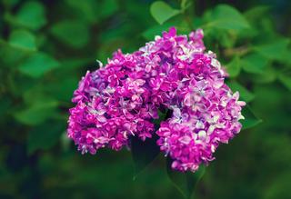 Purple lilac flowers