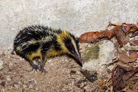Endemic Tailless Tenrec, Madagascar Wildlife