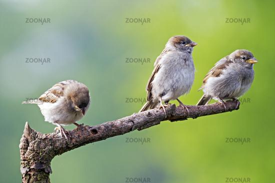 House Sparrow fledglings