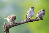 House Sparrow fledglings
