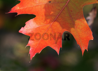 Branches of oak tree (Quercus rubra) with autumn sunlight leaves in forest