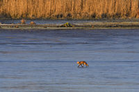 Red fox on a pond