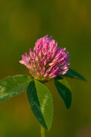 Trifolium pratense, the red clover,