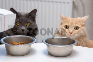 hungry cats sit near their bowls and wait for food