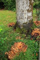 Tree trunk of common beech with Giant Polypore, Black-staining polypore, Meripilus giganteus