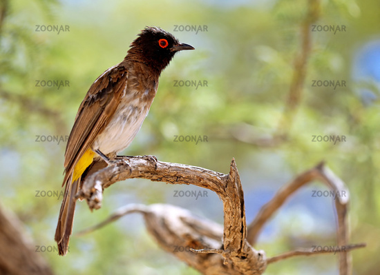 African red-eyed bulbul, Kgalagadi Transfrontier National Park, South Africa, (Pycnonotus nigricans)