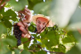 Weinbauer beim Abschneiden einer Rebe