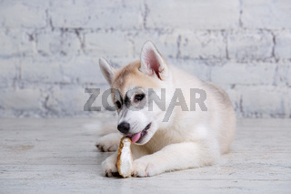 Smiling happy pet dog light colored husky puppy gnawing with pleasure bone of food. Dogs delicacy. Doggy chewing on natural rawhide bone. Dried pork ear natural chewing treats for dogs. Pet supplies