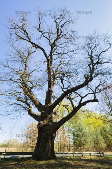 Napoleon Oak Altfriedland, Brandenburg, Germany