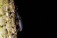 black beetle crawling on a tree with black background
