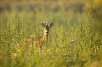 Roe deer buck standing on meadow in summertime nature.