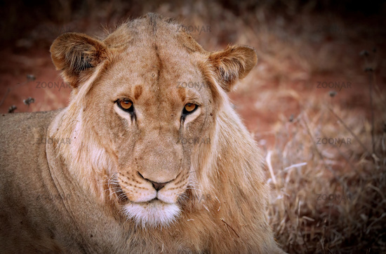lioness, South Africa