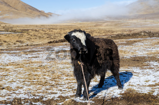 Young yak is standing on a snowy highland Tibetan pasture