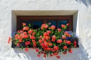 Braunes Holzfenster mit üppigem Blumenschmuck aus roten Geranien