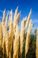 pampas grass on a blue sky background