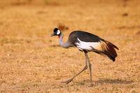 Black Crowned-crane, Murchison Falls National Park Uganda (Balearica pavonina)