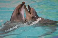 A pair of dolphins swim and play in the water
