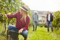 Winzer bei manueller Traubenlese im Weinberg