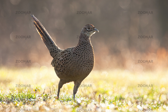 Female of common pheasant moving on grassland in spring rain