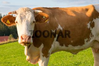 Kuh blickt auf der Weide in die Kamera - Weidenhaltung