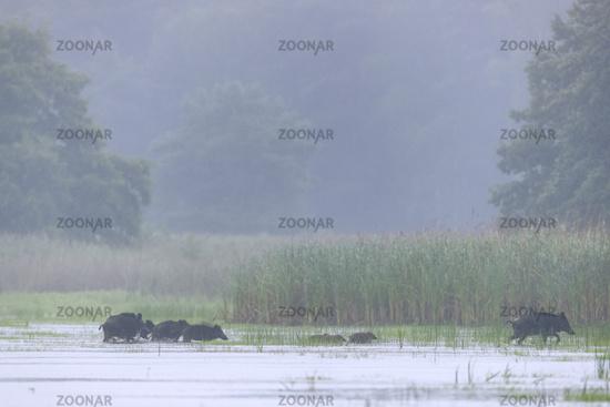 Wild Boar sounder crosses a pond