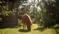 Red pony eats grass on green lawn on sunny day. Cute little horse grazing near wooden fairytale hut and young pine trees