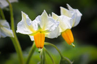 Macro of two white and yellow potato flowers