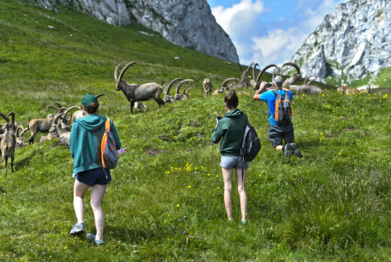 Keeping their distance, hikers photograph a herd of wild ibex, Chablais, France
