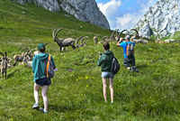 Keep distance, hikers taking pictures of a herd of wild ibex, Chablais, France