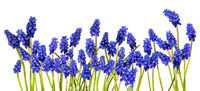 Blue grape hyacinths with green stems lie in a row isolated on white