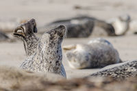 001-Anika Boerries-ND, Oktober, Seehund, Strand.jpg