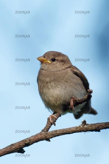 Juvenile sparrow on a branch
