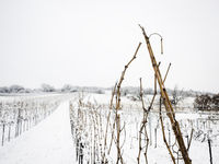 Vineyard in Burgenland in Winter