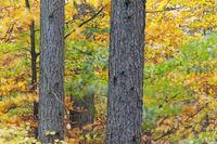 Rot-Buchenblaetter und Laerchenstaemme an einem stuermischen Herbsttag / European Beeches and larch trunks at a stormy day in autumn / Lohfiert - Kreis Steinburg