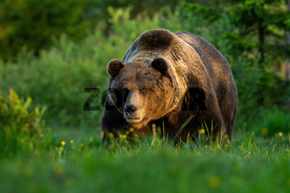 Huge brown bear male standing on a meadow looking forward in summer at sunset.