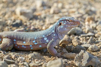 Close up whiptail lizard on stones