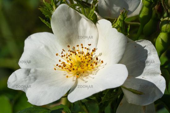 Dwarf rose, Rosa patio