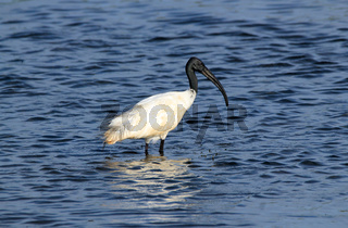 Black-headed Ibis