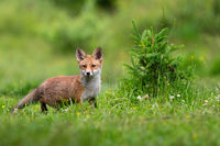 Juvenille red fox standing on meadow in spring nature