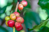 Closeup scene of bunch of coffee fruit on branch of a tree.