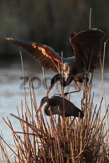 Purple Heron (Ardea purpurea), Baden-Wuerttemberg, Germany
