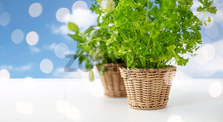 close up of parsley herb in wicker basket