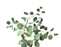 Eucalyptus twig with silver green leaves on white background close up