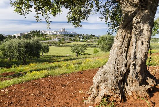 Old olive tree in front Locorotondo, Apulia