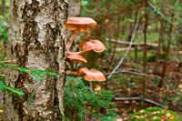 large mushrooms honey agaric growing on a tree, mushrooms on the birch in the forest
