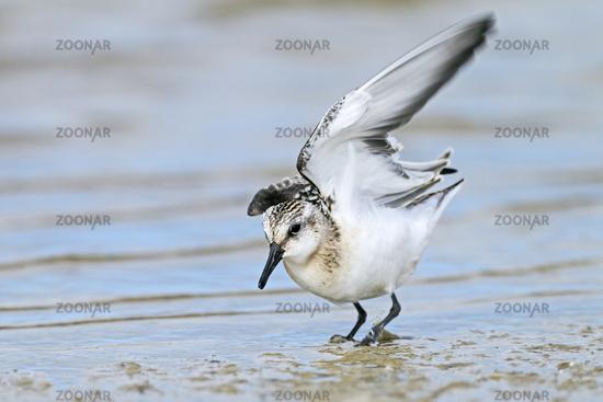 Sanderling immature plumage