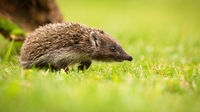 Young northern white-breasted hedgehog walking on meadow with green grass