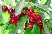 Tasty sweet cherry berry in lush leafage