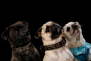 3 dogs on a wooden plank before a black background