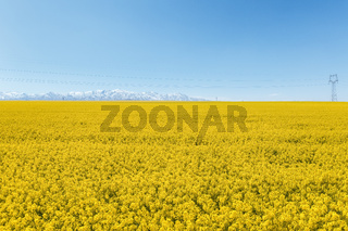 rapeseed flower field and snow mountain against a sunny sky